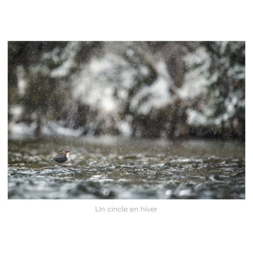 Un cincle en hiver
