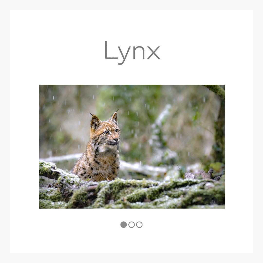 cat_lynx